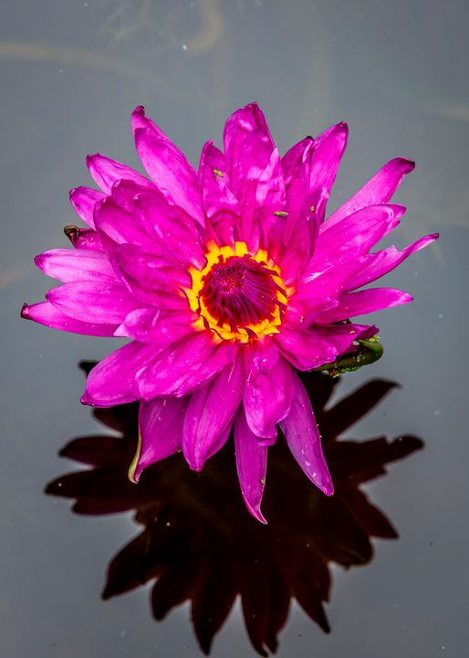 Water Lily 3 - ccgrin