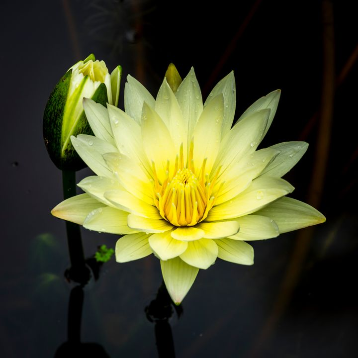 Water Lily 4 - ccgrin