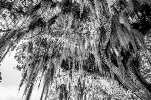 Spanish Moss 5 Black n White Signed