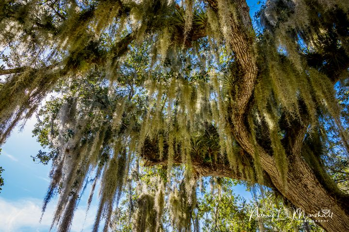 Spanish Moss 5 Signed - ccgrin