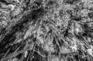 Spanish Moss 6 Black n White Signed