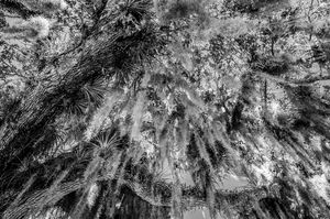 Spanish Moss 6 Black n White