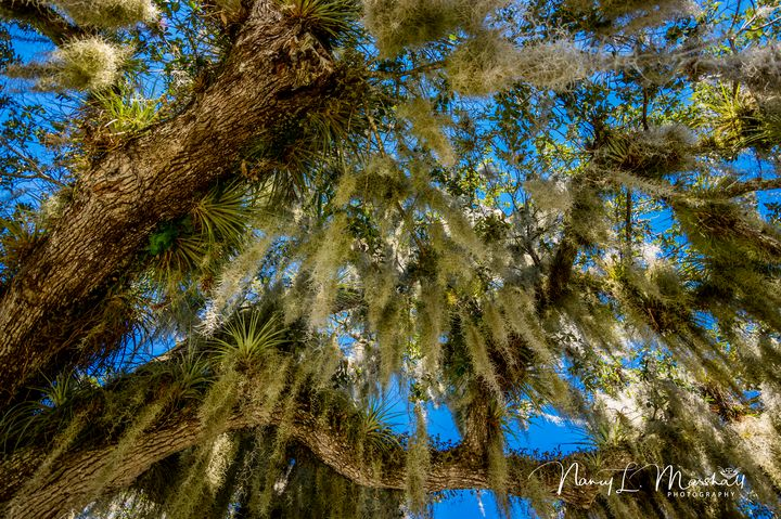 Spanish Moss 6 Signed - ccgrin