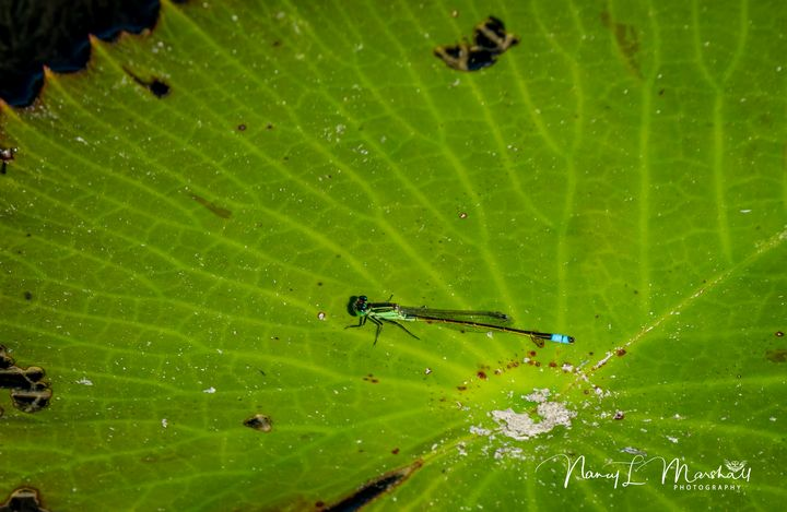 Damselfly 1 Signed - ccgrin