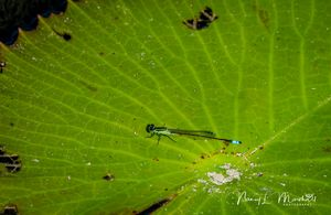 Damselfly 1 Signed