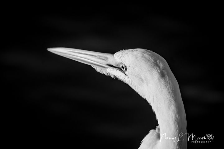 Great White Egret 1 BW Signed - ccgrin
