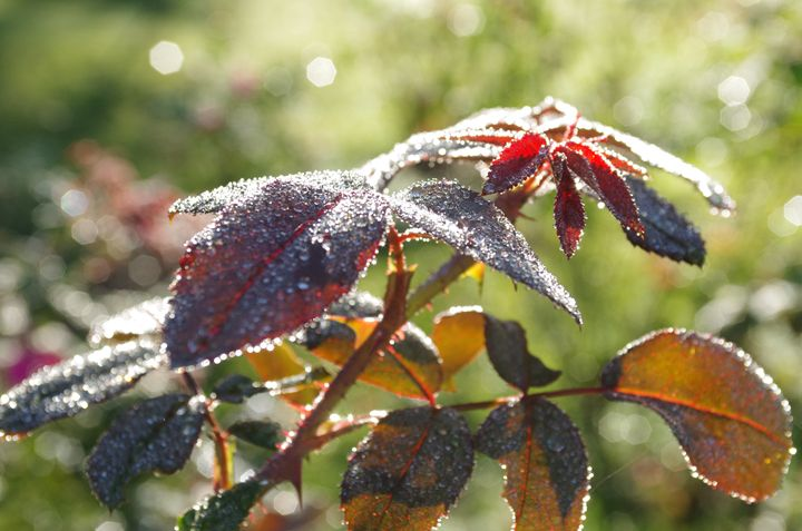 Morning Dew on Rose Bush Leaves - Painting with Light