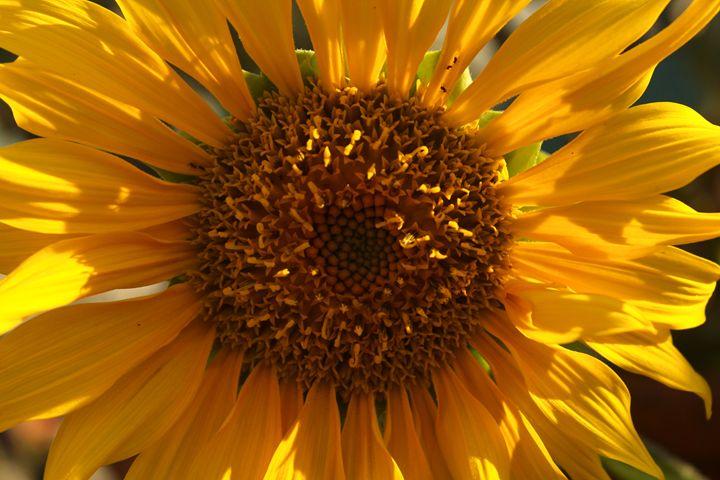 Sunflower - Eréndira Hernández