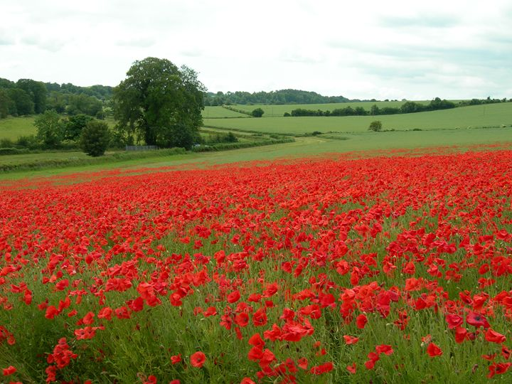 Poppy Field - Robert Harris