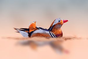 Male of mandarin duck swimming