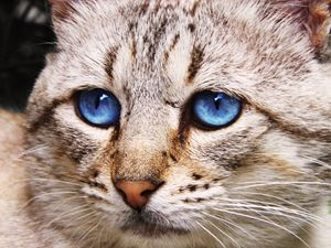 Blue eyed cat macro