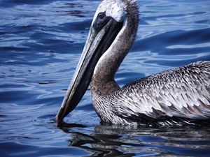 Pelican in blue water