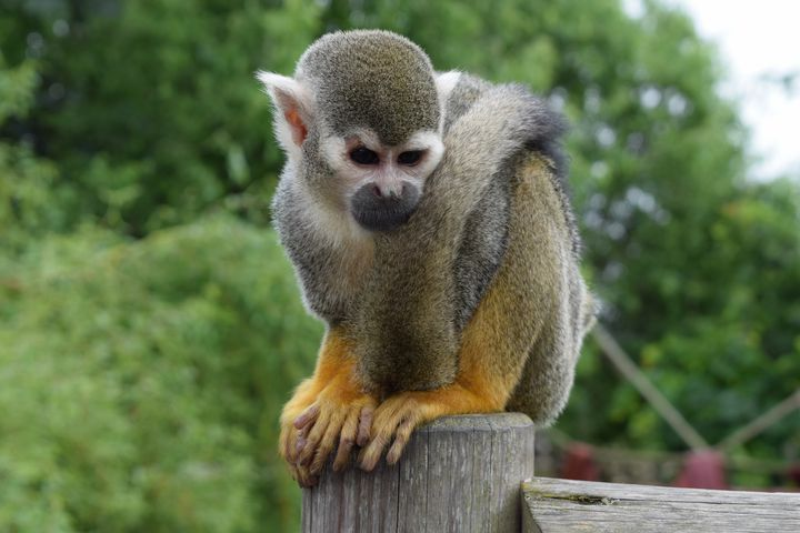 Squirrel Monkey - Hudson Galleries