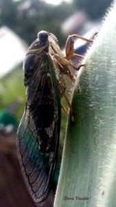 Cicada - Dara Vucetic