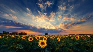 Sunset over sunflower field.