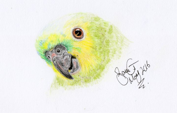Blue Fronted Amazon The Ideal Illustrator Drawings