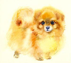Pomeranian spitz - Veronica_Marits