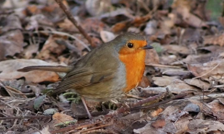 My Robin - GR PICTURES