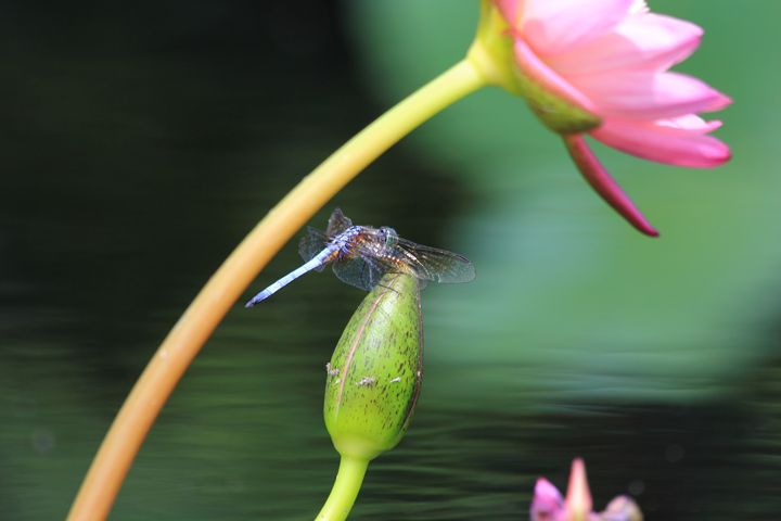 Dragonfly Rests Momentarily - Donny R. Coutu