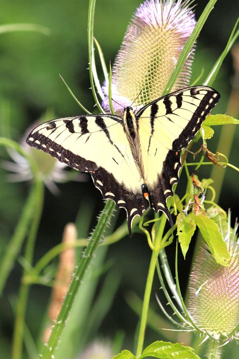 Tiger Swallowtail Butterfly - Donny R. Coutu