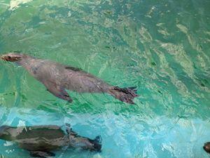 Seal in water - Sreelatha Nandigiri