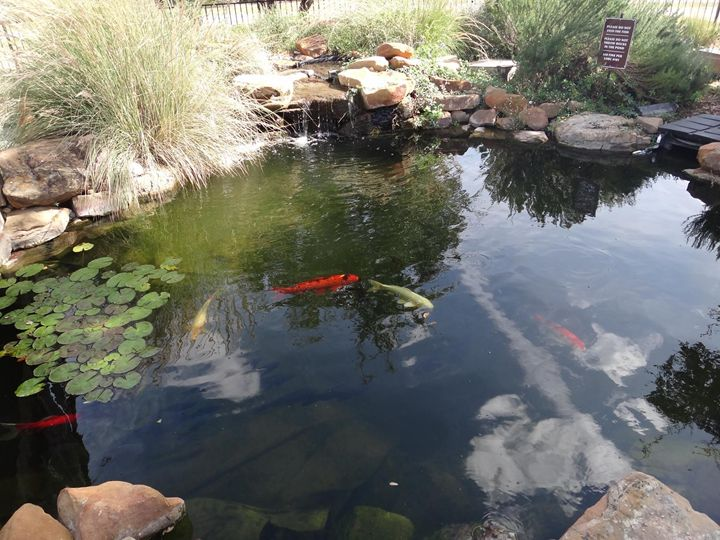 Fishes in pond - Sreelatha Nandigiri