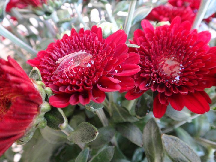 Chrysanthemum - Sreelatha Nandigiri