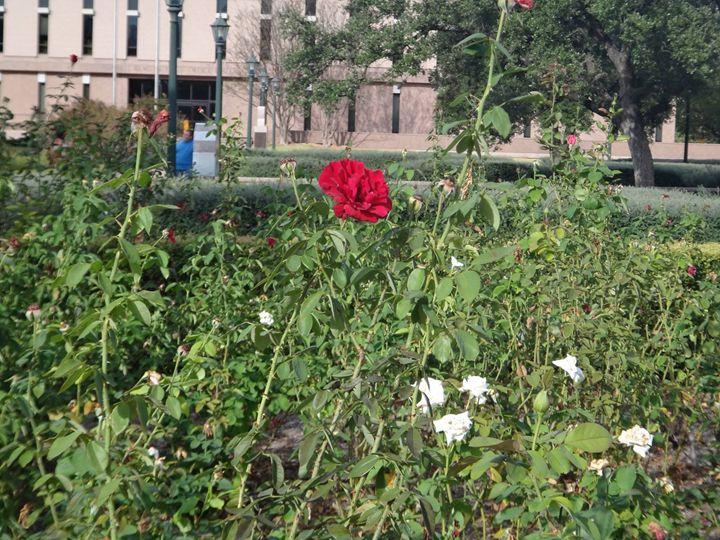 Red Rose - Sreelatha Nandigiri