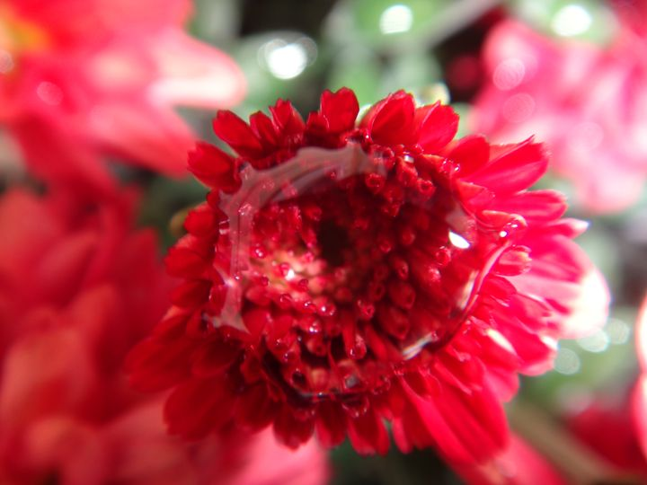 Chrysanthemum bud - Sreelatha Nandigiri