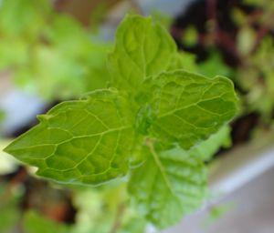Mint leaves - Sreelatha Nandigiri