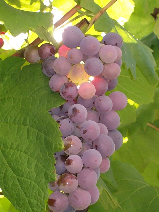 Grape Glow - Mercurial Day