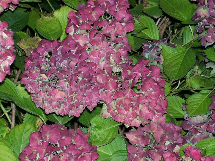 Hydrangea - Mercurial Day