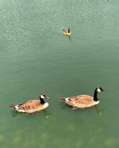 geese - Hallie's art