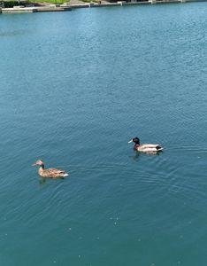 Ducks - Hallie's art