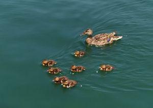 ducks and ducklings - Hallie's art