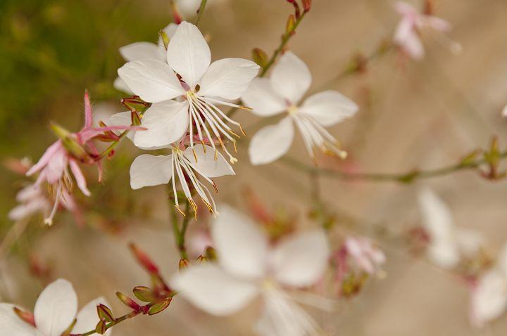 Dainty Blossums - LiviaDesigns