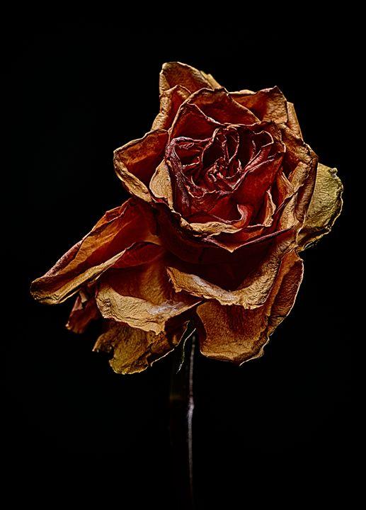 Decay Rose III - Marco Moroni Photography