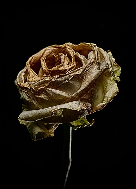 Decay Rose IV - Marco Moroni Photography