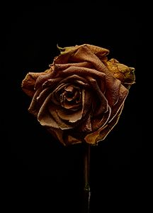Decay Rose V