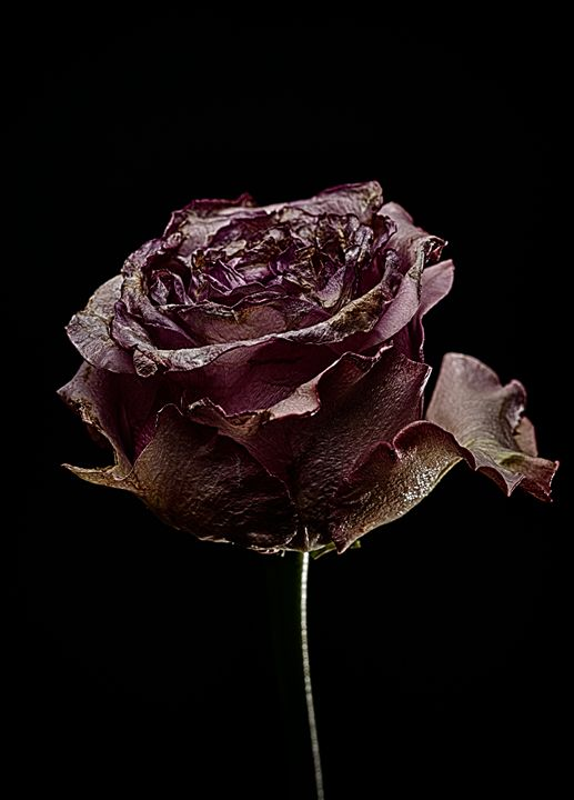 Decay Rose VI - Marco Moroni Photography