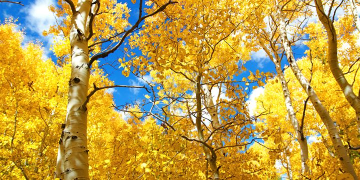 Autumn Canopy of Brilliant Yellow As - Elite Image Photography