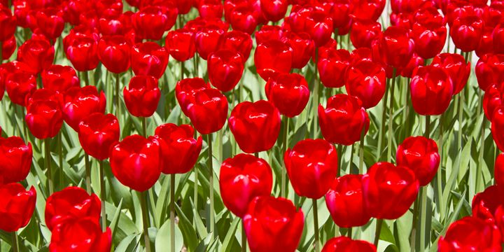 Red Tulip Flowers in the Spring outs - Elite Image Photography