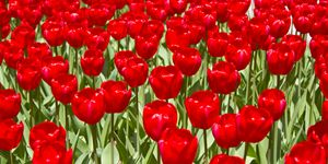 Red Tulip Flowers in the Spring outs