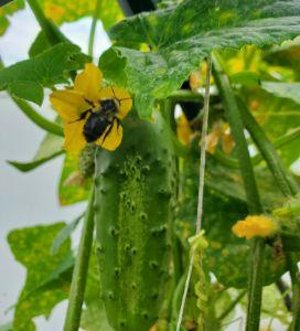 Bee wants a cucumber