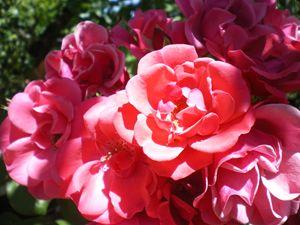 Sunlighten Roses