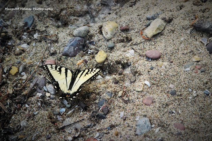 Sandy Butterfly - Fly High Photography