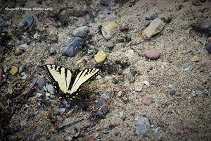 Sandy Butterfly