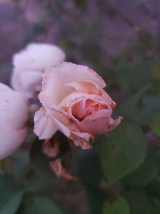 Foggy Rose - DeBey DeSigns