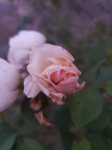 Foggy Rose
