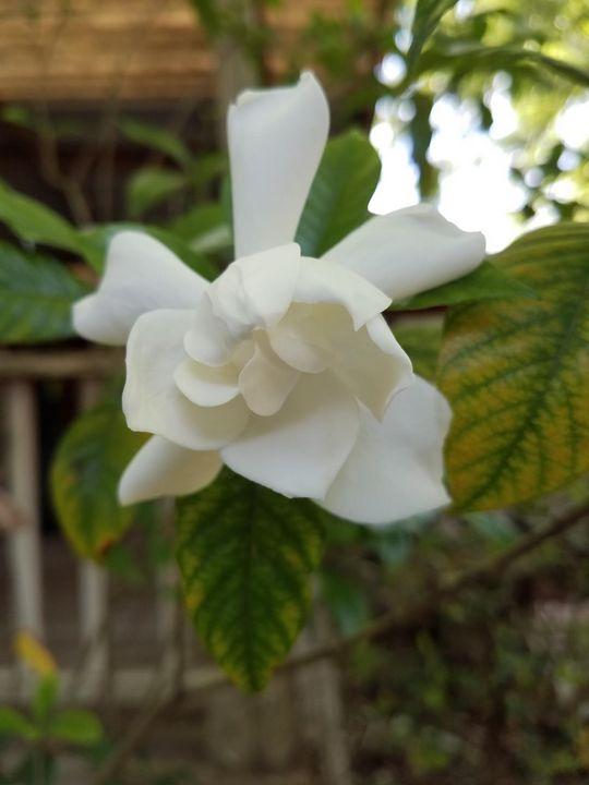 Sweet Porch Gardenia - DeBey DeSigns